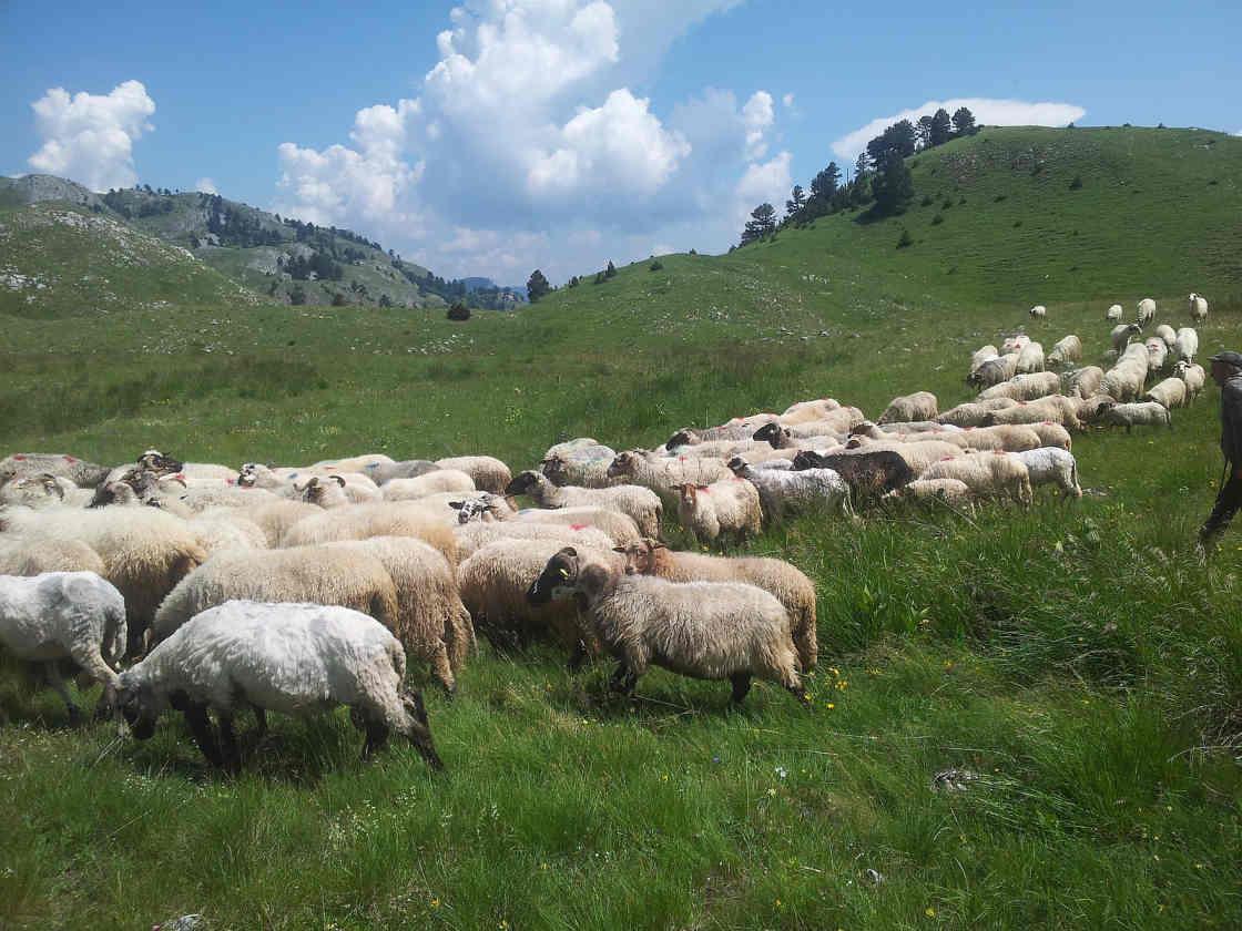 Niet te vermijden in Montenegro: schapen