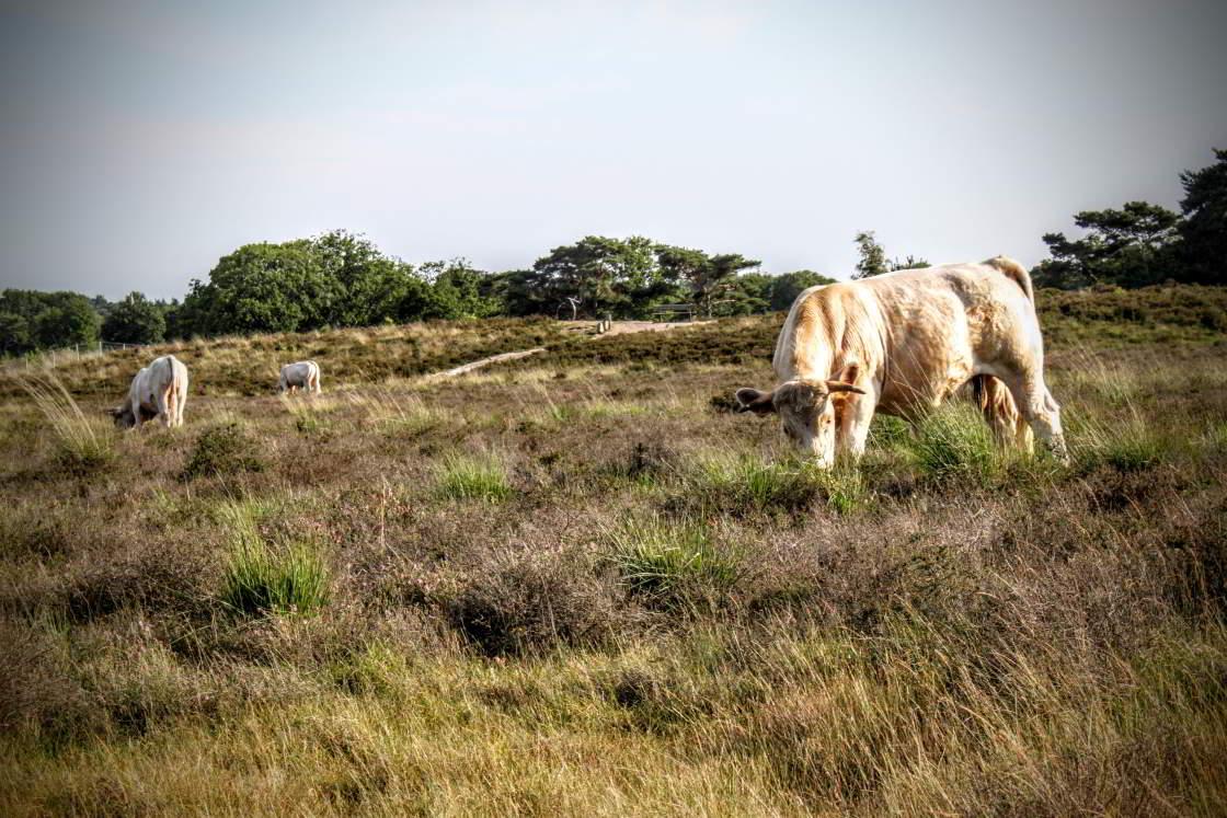 Heel de Heuvelrug: koeien grazen op de hei
